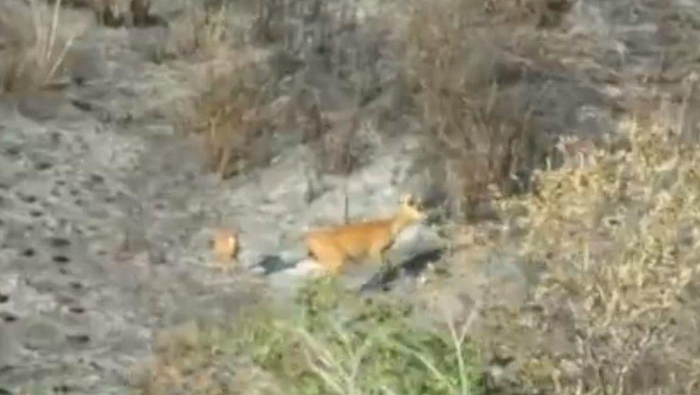 Uma mãe e o filhote de cervo foram vistos buscando abrigo na área verde que resistiu ao incêndio — Foto: Reprodução/RPC