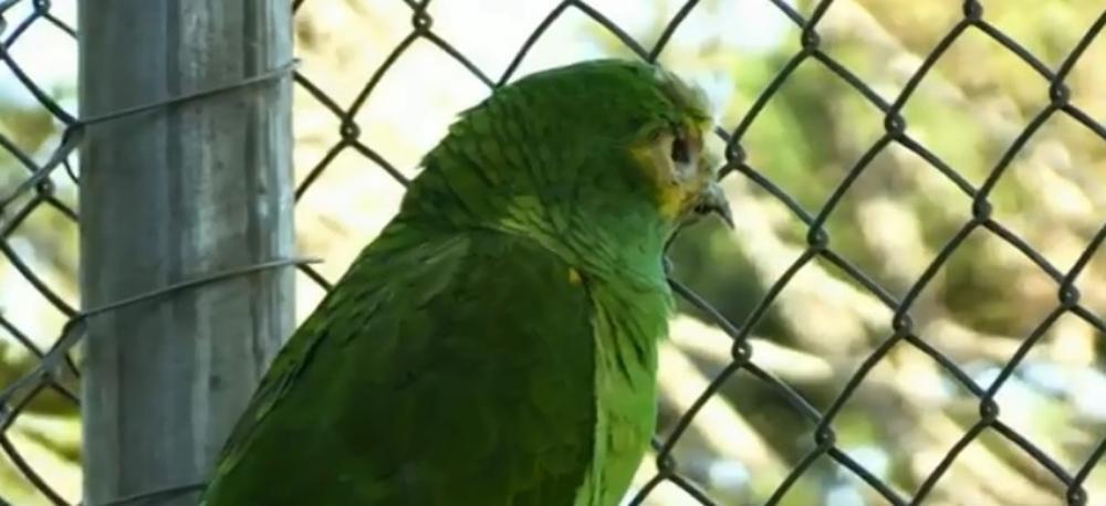 Papagaio Freddy Krueger, do Zoológico de Cascavel, coleciona histórias curiosas — Foto: Reprodução/RPC