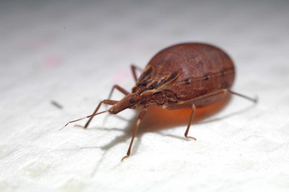 O barbeiro, inseto transmissor da doença de Chagas — Foto: AXS