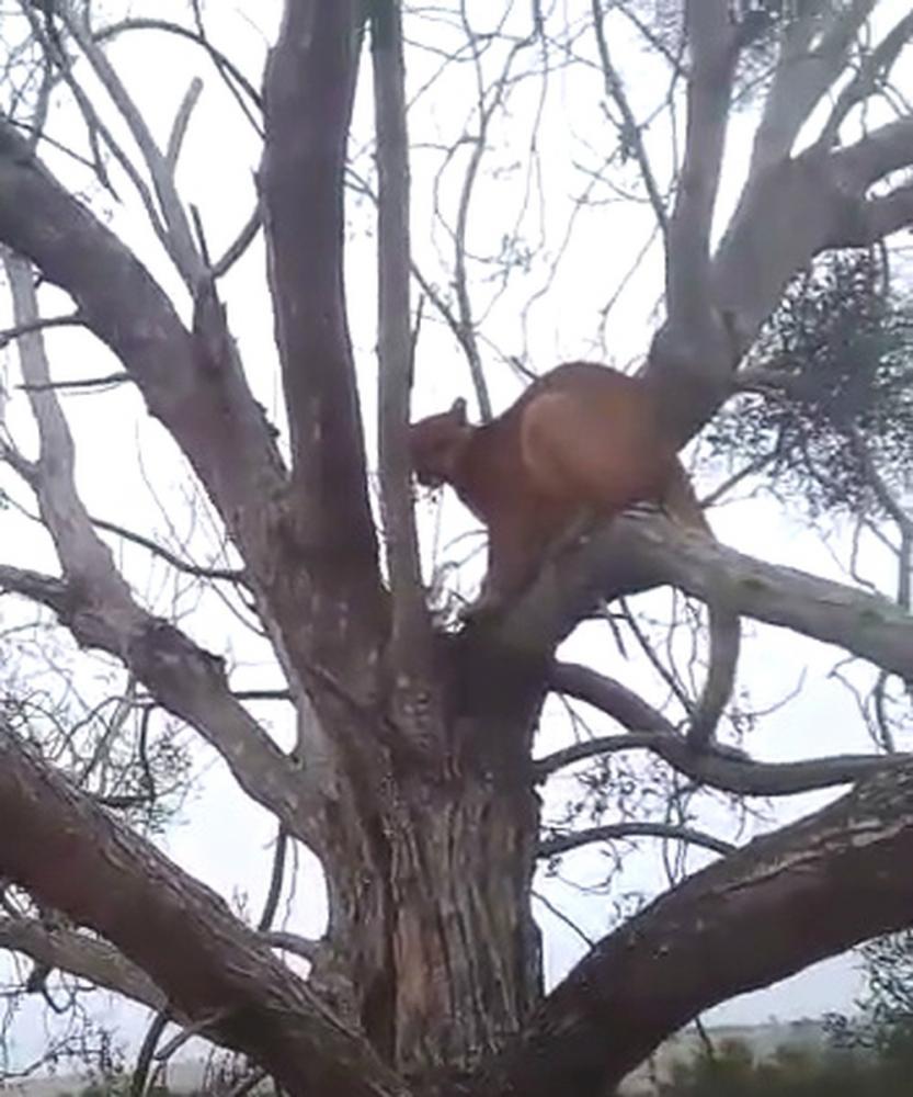 Onça-parda foi encontrada em uma árvore, em Cafezal do Sul — Foto: Cristiano Balbo/Arquivo Pessoal