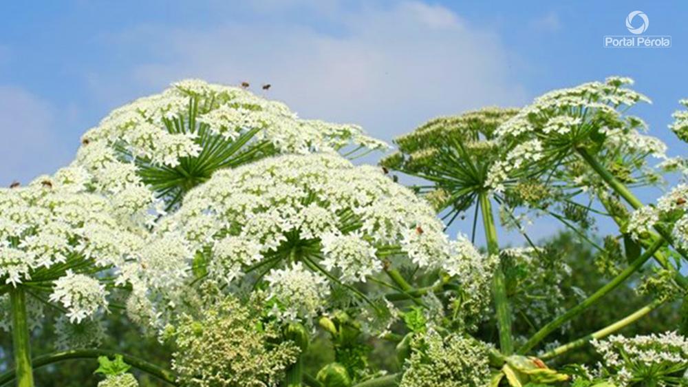 Conheça a planta que pode causar a pior queimadura solar da sua vida
