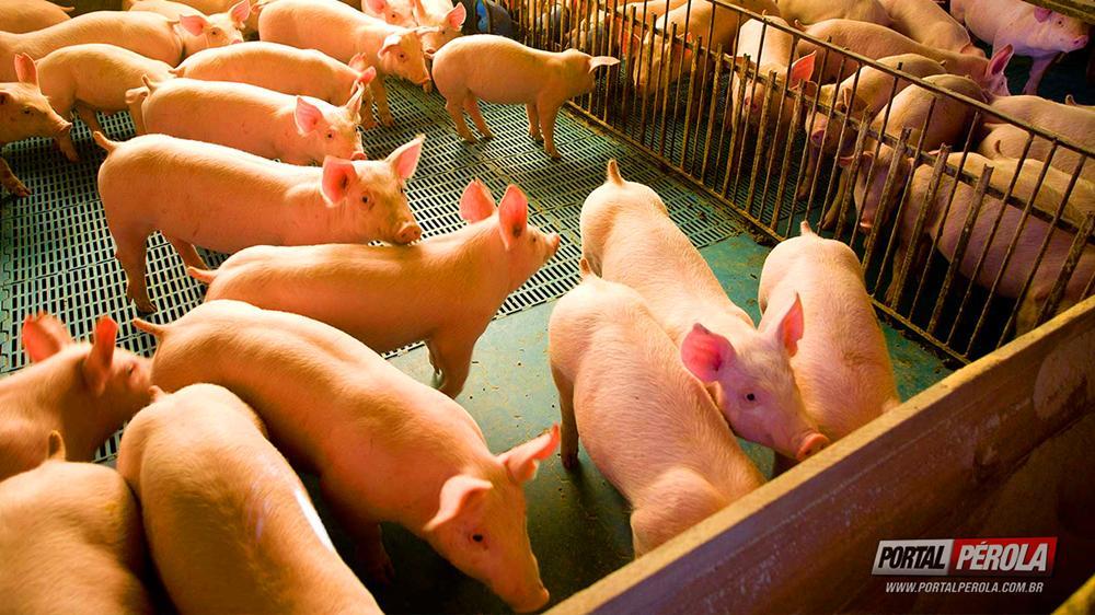Consulta pública visa edição de normas de bem-estar em granjas de suínos